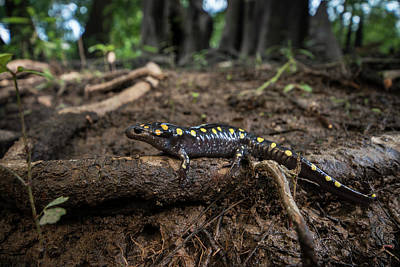 Salamanders Photograph - Spotted Salamander (ambystoma Maculatum by Pete Oxford