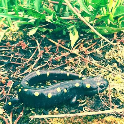 Salamanders Wall Art - Photograph - Spotted Salamander Retro by Bruce J Robinson