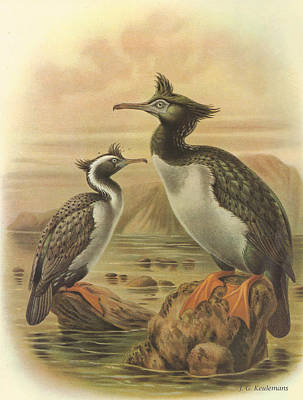Naturalist Painting - Spotted Shag And Pitt Island Shag by Rob Dreyer