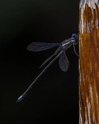 Photograph - Spotted Spreadwing Damselfly by Ernie Echols
