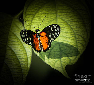 Photograph - Spotted Tiger Longwing  by Grace Grogan