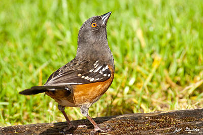 Spotted Towhee Looking Up Art Print by Jeff Goulden