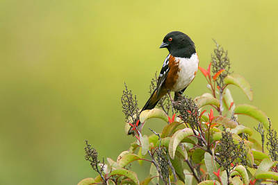Photograph - Spotted Towhee by Ram Vasudev