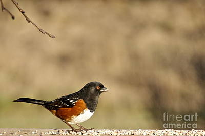 Spotted Towhee Print by Sean Griffin
