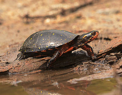 Waterdog Photograph - Spotted Turlte by Eric Abernethy