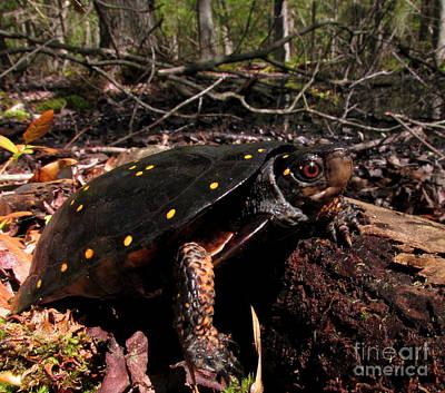 Spotted Turtle Art Print