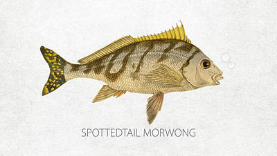 Fish Species Digital Art - Spottedtail Morwong by Aged Pixel