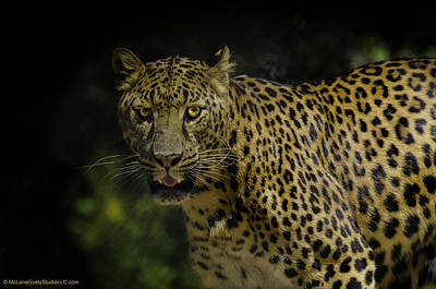 Panther Photograph - Spotting The Spotted Leopard by LeeAnn McLaneGoetz McLaneGoetzStudioLLCcom