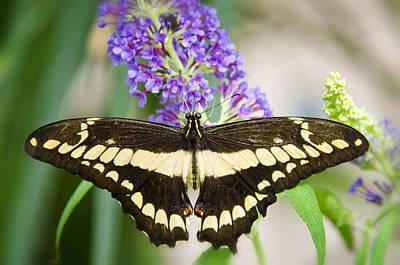 Spread Your Wings My Little Butterfly  Art Print by Saija  Lehtonen