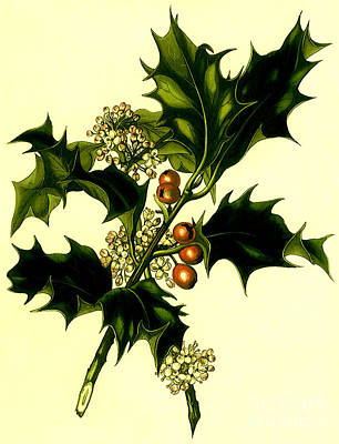 Mixed Media - Sprig Of Holly With Berries And Flowers Vintage Poster by R Muirhead Art