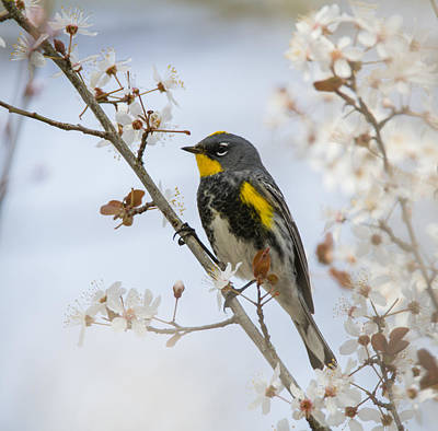 Yellow Rumped Warbler Photograph - Spring by Angie Vogel