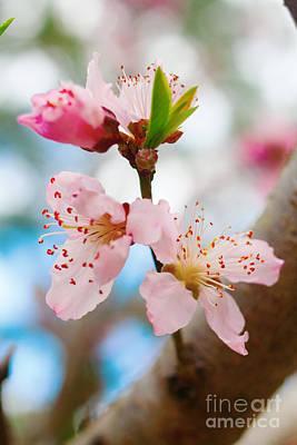 Photograph - Spring Apple Blooms by Ben Sellars