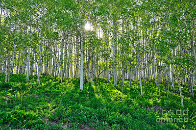 Photograph - Spring Aspen Glow by Kelly Black