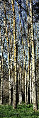Jerry Sodorff Royalty-Free and Rights-Managed Images - Spring Aspens 177 by Jerry Sodorff