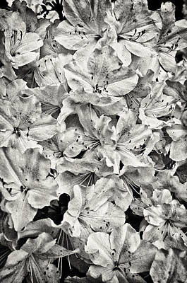 Katharine Hepburn - Spring Azalea by Patrick M Lynch