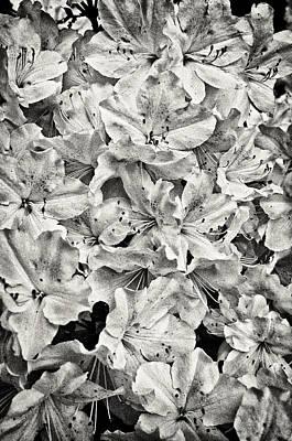 Photograph - Spring Azalea by Patrick M Lynch