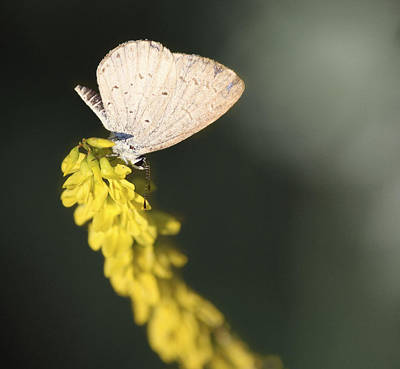 Photograph - Spring Azure Butterfly by Melinda Fawver
