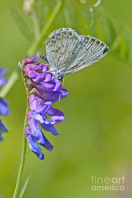 Photograph - Spring Azure by Joshua McCullough