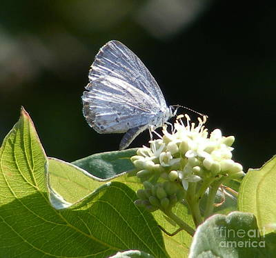 Photograph - Spring Azure  On White Flower by Marilyn Smith