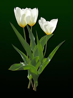Spring - Backlit White Tulips Art Print by Susan Savad