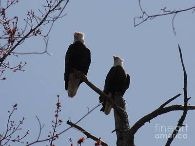 Photograph - Spring Bald Eagles 2013 Xvi by Daniel Henning