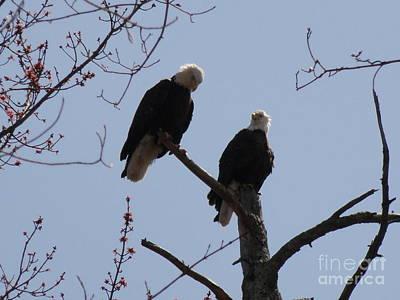 Photograph - Spring Bald Eagles 2013 Xx by Daniel Henning