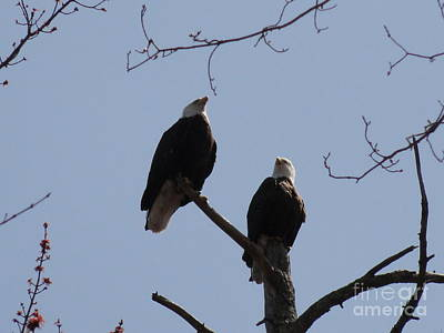 Photograph - Spring Bald Eagles 2013 Xxi by Daniel Henning