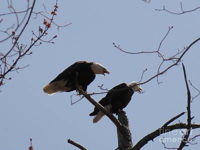 Photograph - Spring Bald Eagles 2013 Xxiii by Daniel Henning