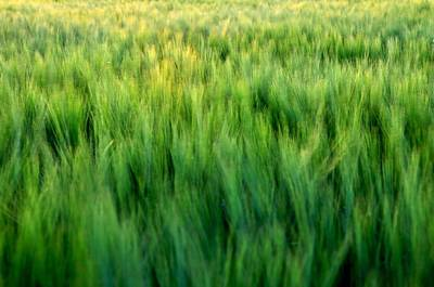 Jerry Sodorff Royalty-Free and Rights-Managed Images - Spring Barley 15623 by Jerry Sodorff