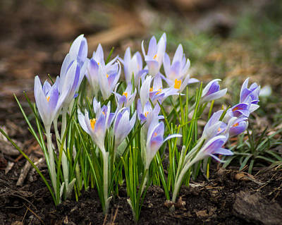 Photograph - Spring Blooming Crocus by Bill Pevlor
