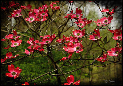 Art Print featuring the photograph Pink Spring Dogwood Blooms  by James C Thomas