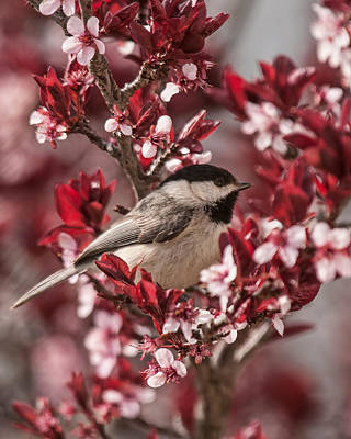 Photograph - Spring Blossom Chickadee by Lara Ellis