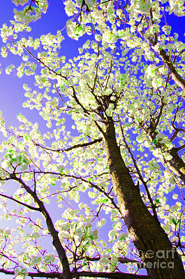 Pear Tree Digital Art - Spring Blossoms   by First Star Art