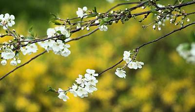 Photograph - Spring Blossoms  by Douglas Pike