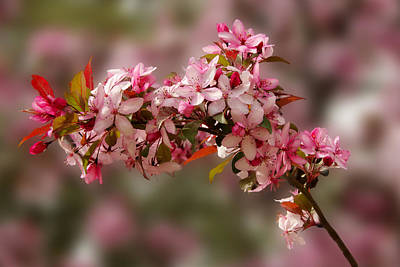 Photograph - Cheery Cherry Blossoms by Penny Lisowski