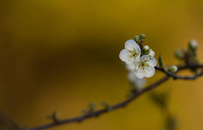 Photograph - Spring Blossoms  by Roger Mullenhour