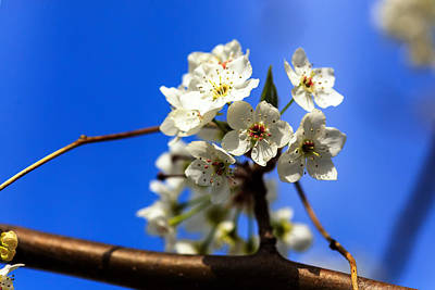 Photograph - Spring Blossoms by Sennie Pierson