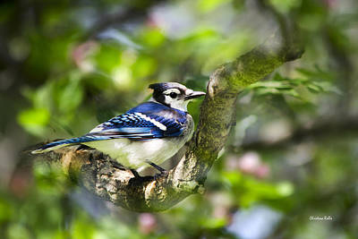 Bluejay Photograph - Spring Blue Jay by Christina Rollo