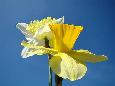 Spring Blue Sky Yellow Daffodil Flowers Art Prints Art Print