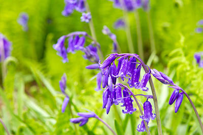 Photograph - Spring Bluebells Growing In English Countryside by Fizzy Image
