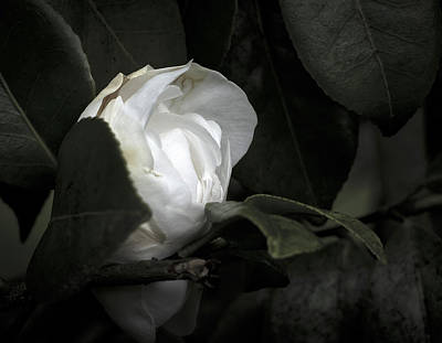 Photograph - Spring Camelia by Ron Roberts
