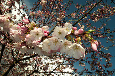 Photograph - Spring Cherry Blossoms by Brian Chase