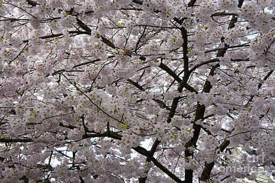 Photograph - Spring Cherry Blossoms by John  Mitchell