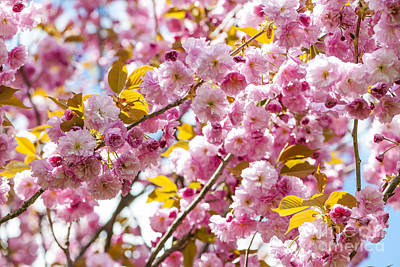 Blossom Photograph - Spring Cherry Tree  by Elena Elisseeva