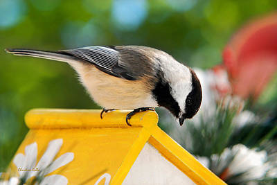 Photograph - Spring Chickadee by Christina Rollo
