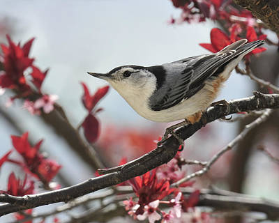 Spring Scenes Photograph - Spring Colors Nuthatch by Lara Ellis