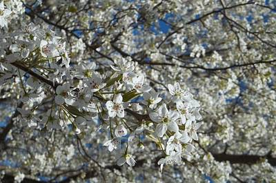 Photograph - Spring Comes In White by Georgia Hamlin