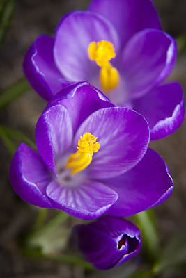 Purple Flowers Photograph - Spring Crocus by Adam Romanowicz
