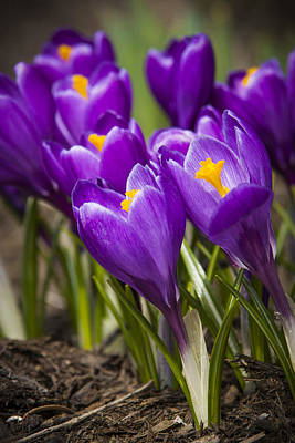 Color Photograph - Spring Crocus Bloom by Adam Romanowicz