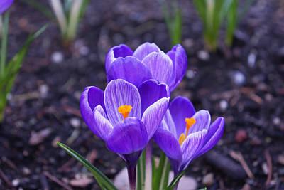Photograph - Spring Crocus Flowers Art Prints Floral by Baslee Troutman